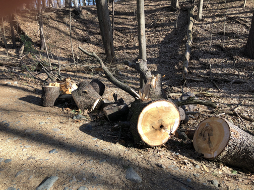 tree cut up by park department